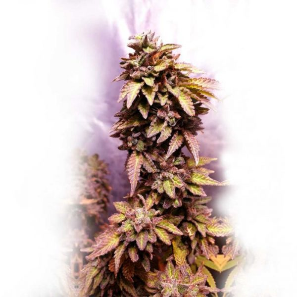Strawberry dawg pound holy smoke seeds the green affiliate